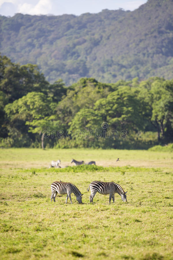 Wild zebras grazing in Africa. Zebras grazing in Arusha Tanzania, Africa. Wild and beautiful nature royalty free stock photography