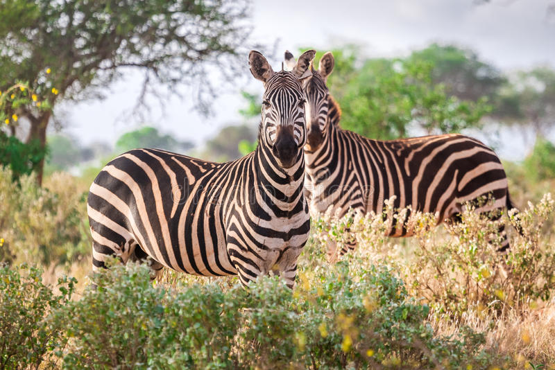 Wild zebras on savanna, Kenya. East Africa royalty free stock images