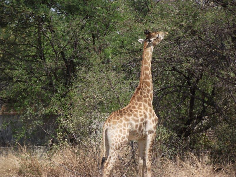 Wild Zuid-Afrika stock foto