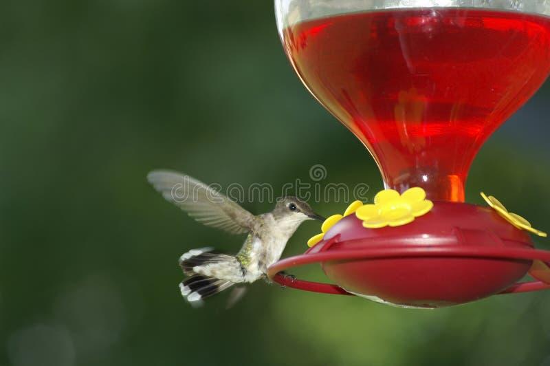 Wild0681 Vliegende kolibrie royalty-vrije stock foto's