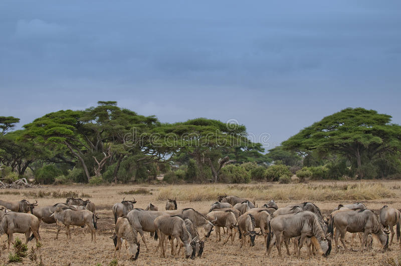 Download Wildbeasts In Kenya Royalty Free Stock Image - Image: 23501996