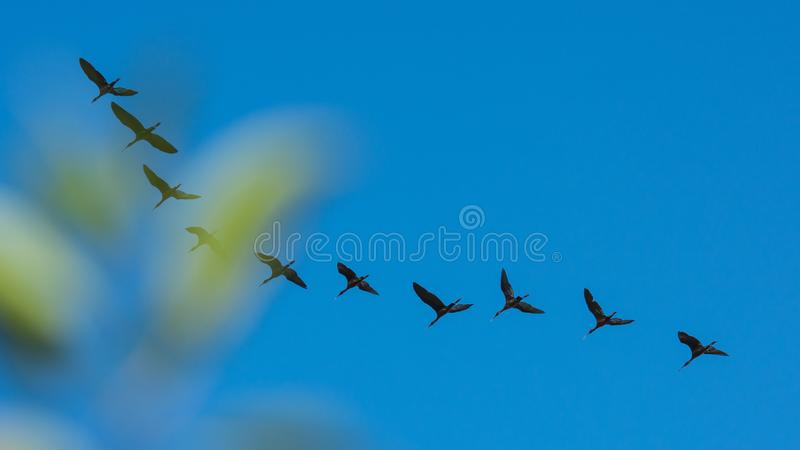Wildbirds de delta : Falcinellus de Plegadis/IBIS brillant photographie stock libre de droits