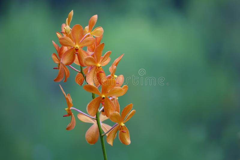 Wildblume und Bokeh aus Orange Ground Orchid stockfotos
