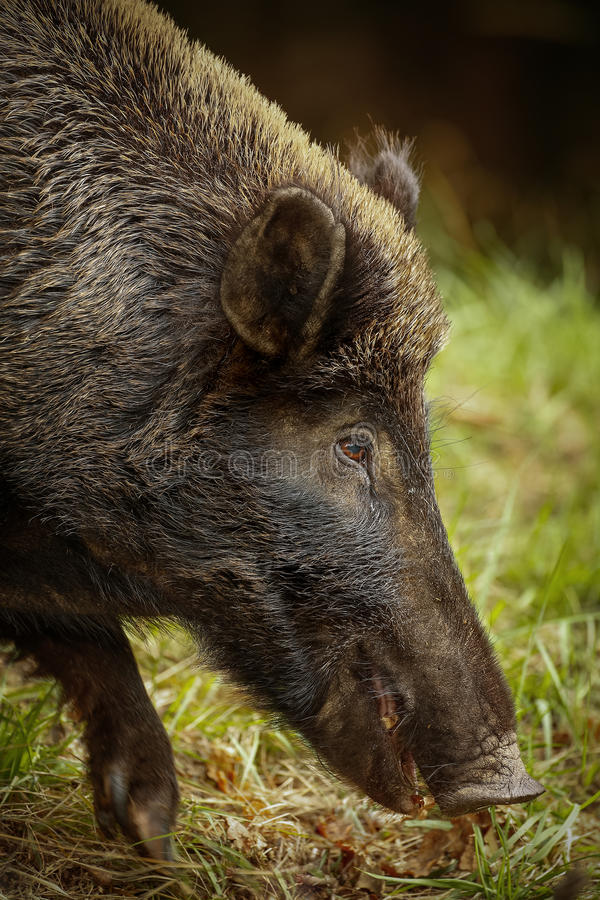 Download Wildboar stock image. Image of hardy, grass, hunted, branches - 33809613