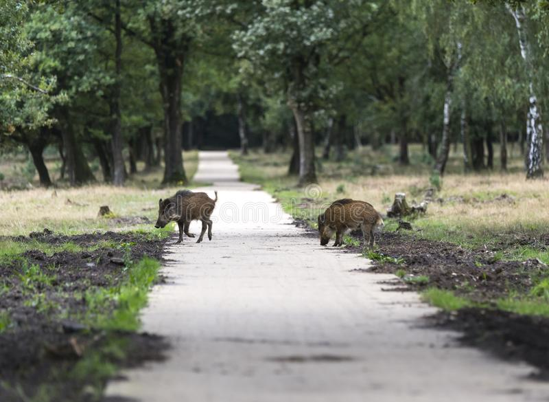 Wildboar animal in the netherlands in the forest royalty free stock photography
