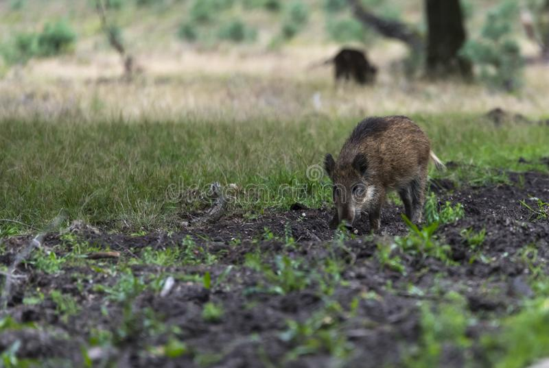 Wildboar animal in the netherlands in the forest royalty free stock image