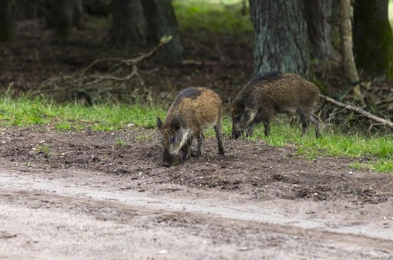 Wildboar animal in the netherlands in the forest stock images