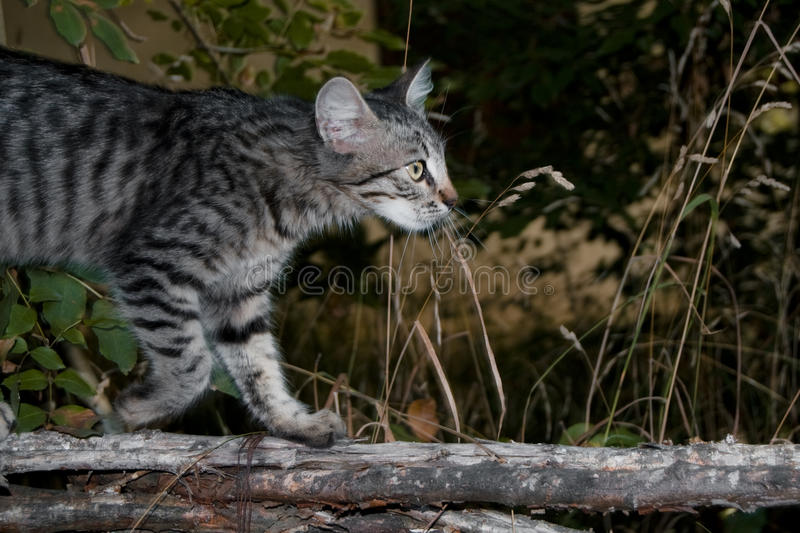 Download Wildcat Royalty Free Stock Photo - Image: 21526005