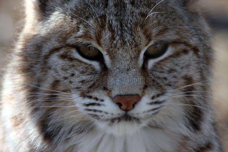 Wildcat Royalty Free Stock Photo
