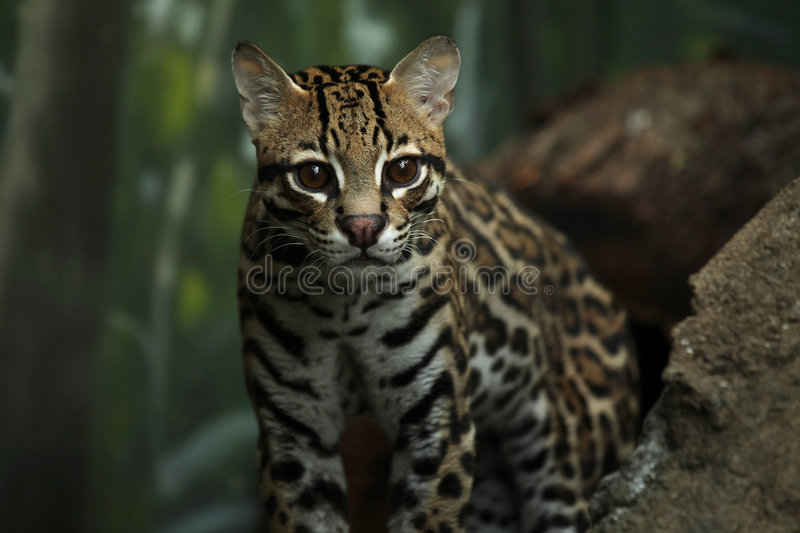 Download Wildcat stock photo. Image of nature, hunting, feline - 8681070