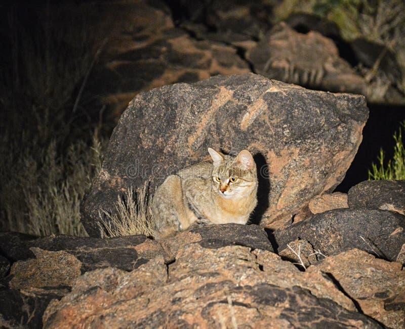 Wildcat africano fotografia de stock