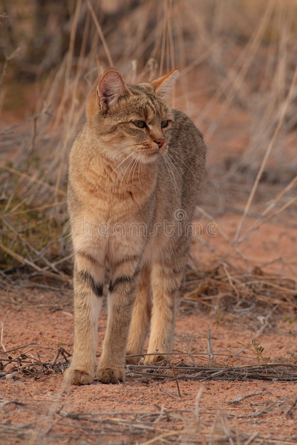 Wildcat africano (lybica do Felis) imagem de stock royalty free