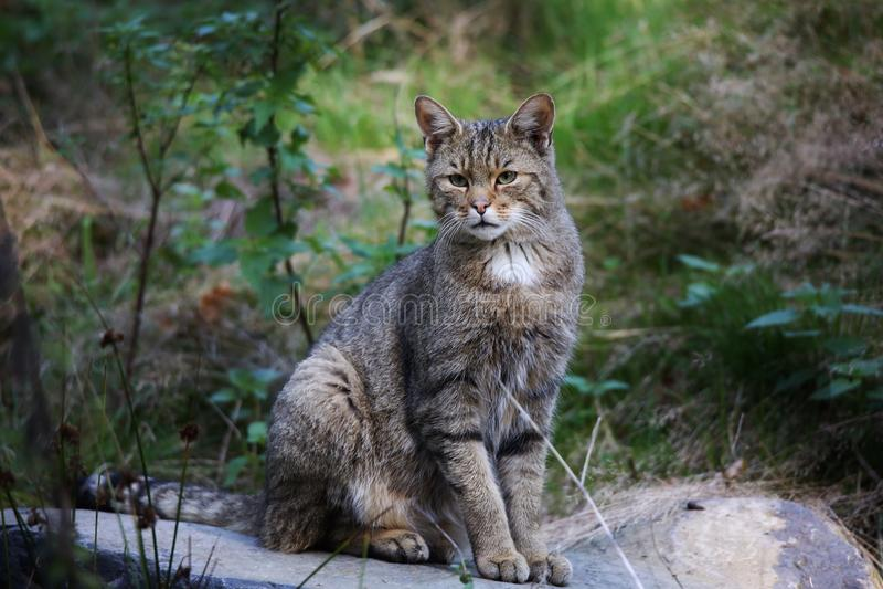 Wildcat africano (lybica dos silvestris do Felis) fotografia de stock