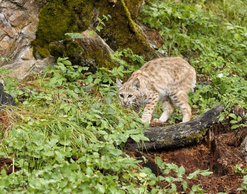 Wildcat De Agachamento Fotografia de Stock