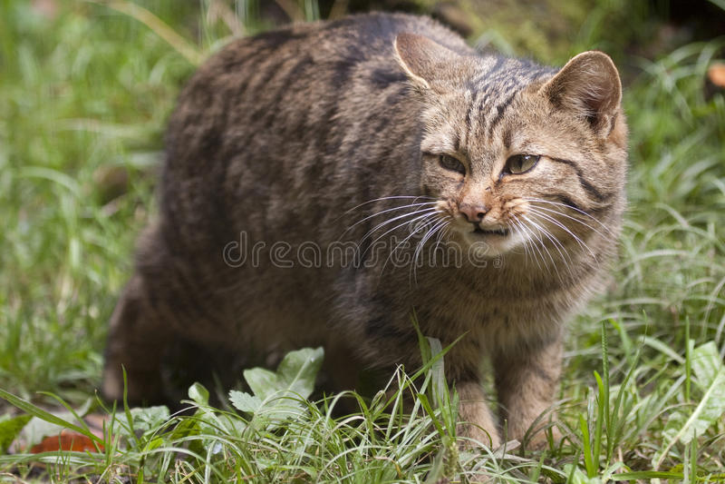 Wildcat europeu (silvestris do Felis). fotografia de stock