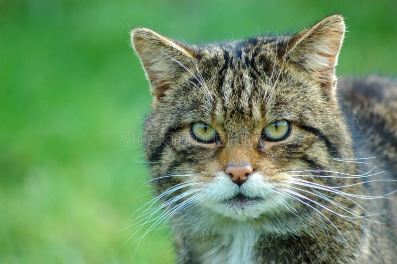Wildcat. No feral or farm cat, the wildcat is a true wild species of cat just like a tiger or leopard; it was here long before we were and long before the stock image