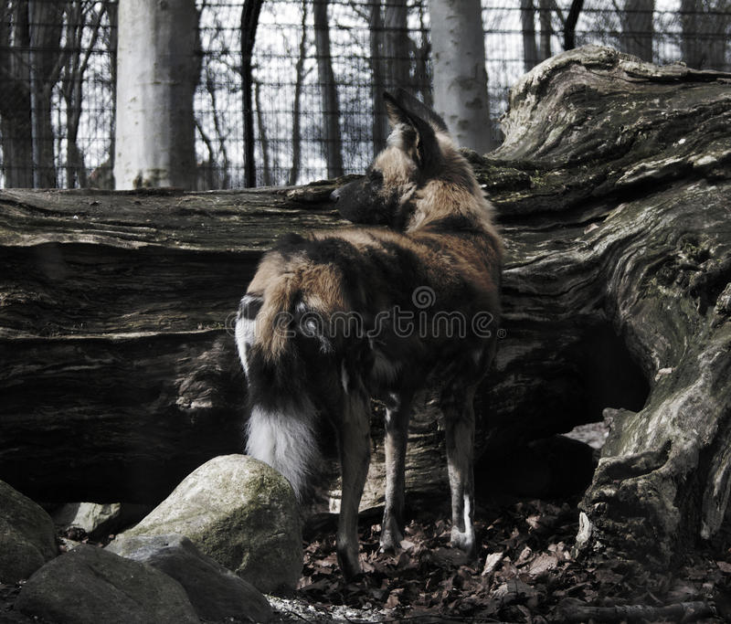 Wilddog images stock
