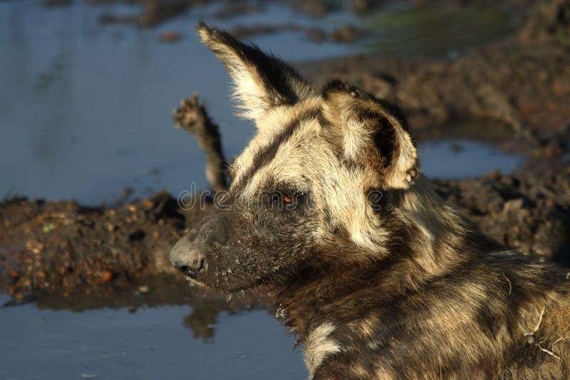 Wilddog royalty-vrije stock foto