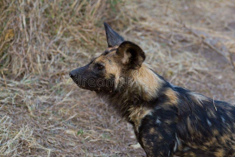 Wilddog en el parque nacional de Tanzania foto de archivo libre de regalías
