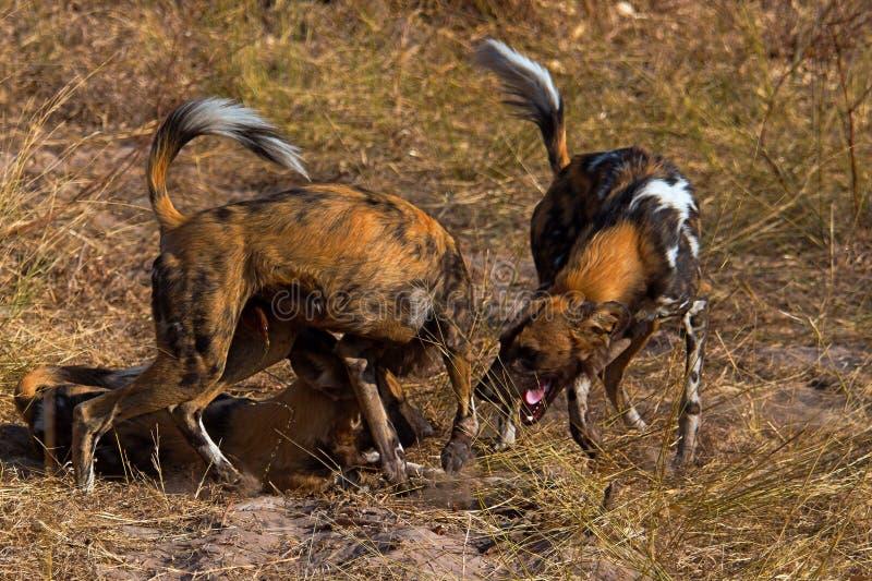 Wilddog en el parque nacional de Tanzania imagen de archivo libre de regalías