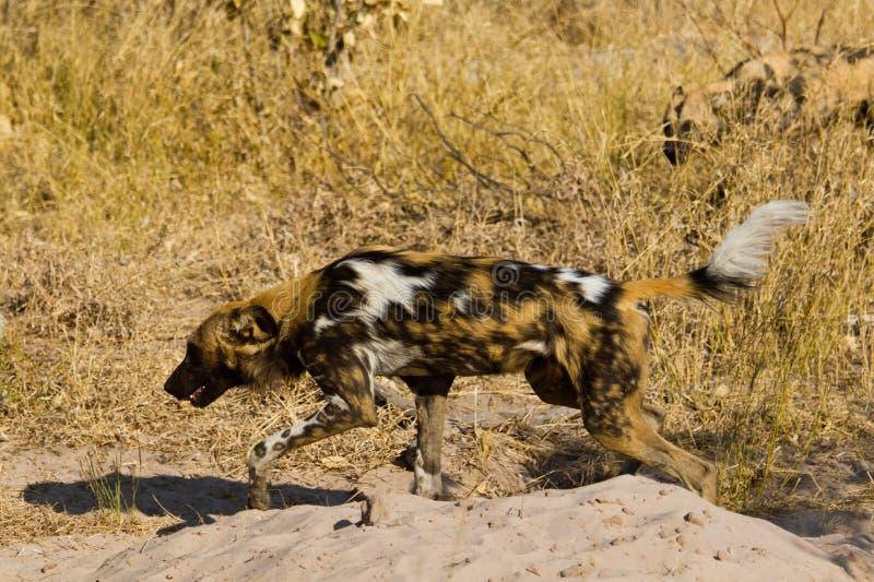 Wilddog en el parque nacional de Tanzania foto de archivo