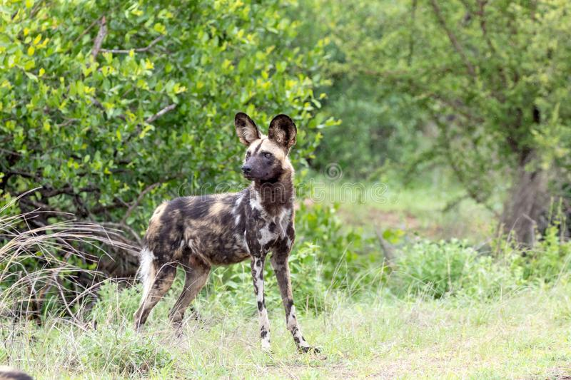 Wilddog in the rain in Kruger National Park royalty free stock images