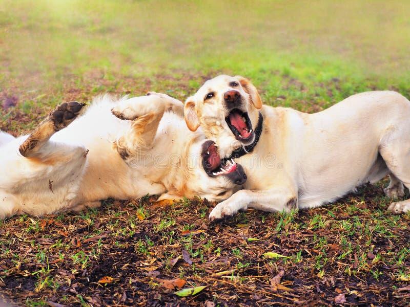 Wilde играя Labradors с ртом широким раскрывает стоковые фото