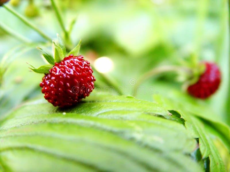 Wilde Aardbeien Royalty-vrije Stock Afbeeldingen