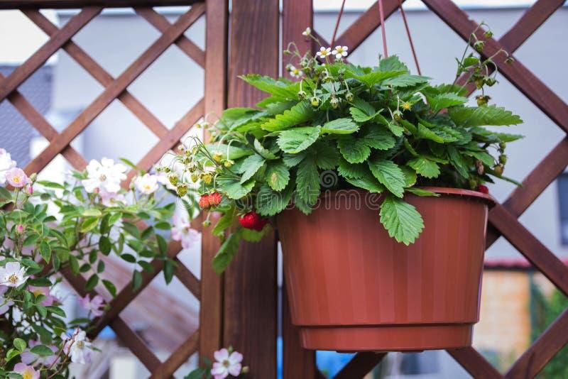 Wilde aardbeien die in een pot op pergola hangen royalty-vrije stock afbeeldingen