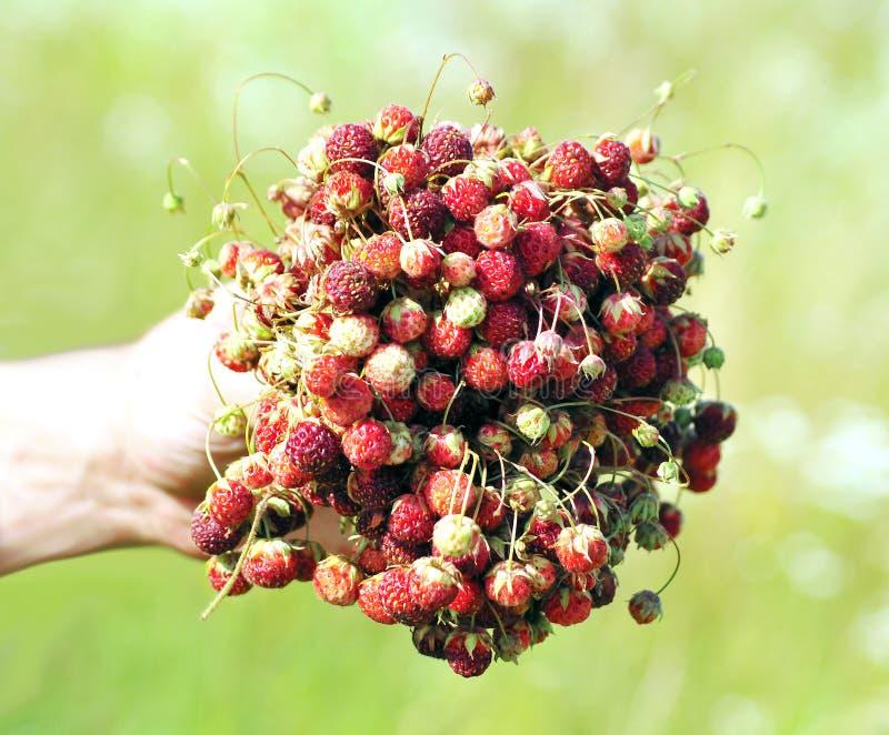 Wilde aardbeien in een hand stock afbeelding