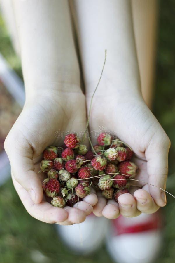 Wilde aardbeien in kindhanden royalty-vrije stock afbeeldingen