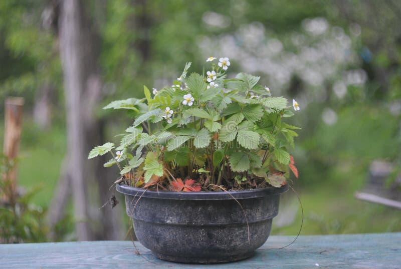 Wilde Aardbeien op het plan (Fragaria vesca) stock afbeelding