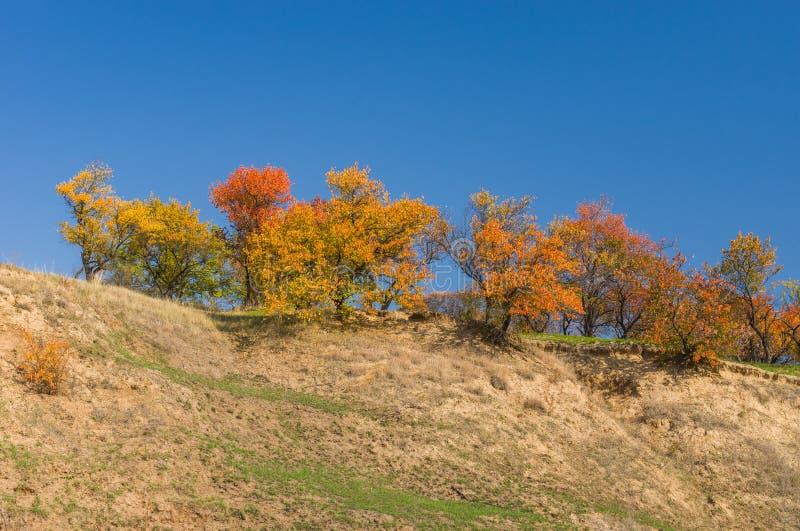 Wilde abrikozenbomen op een heuvel royalty-vrije stock afbeelding
