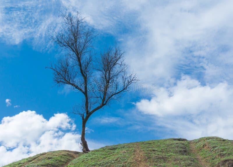 Wilde abrikozenboom op een heuvel in vroege lentetijd stock afbeeldingen
