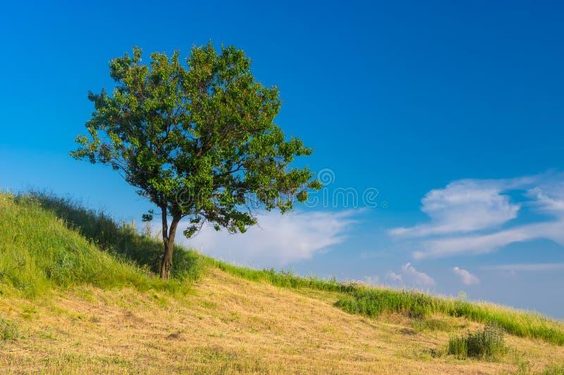 Wilde abrikozenboom op een heuvel in zomer royalty-vrije stock fotografie