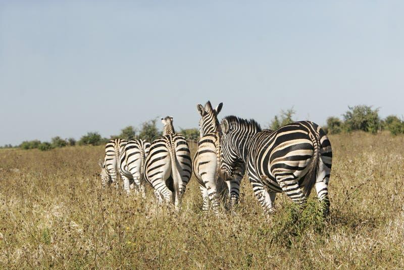 Wilde Afrikaanse gestreepte kudde stock afbeelding