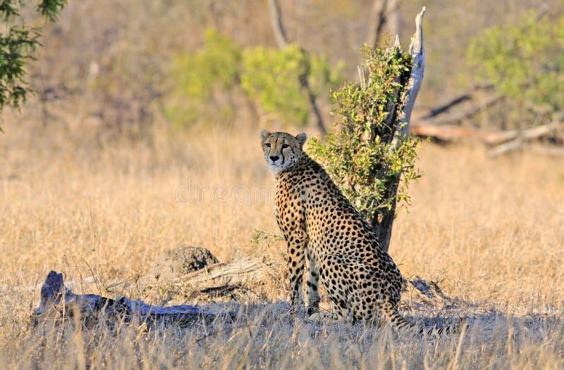 Wilde Afrikaanse Jachtluipaard stock fotografie