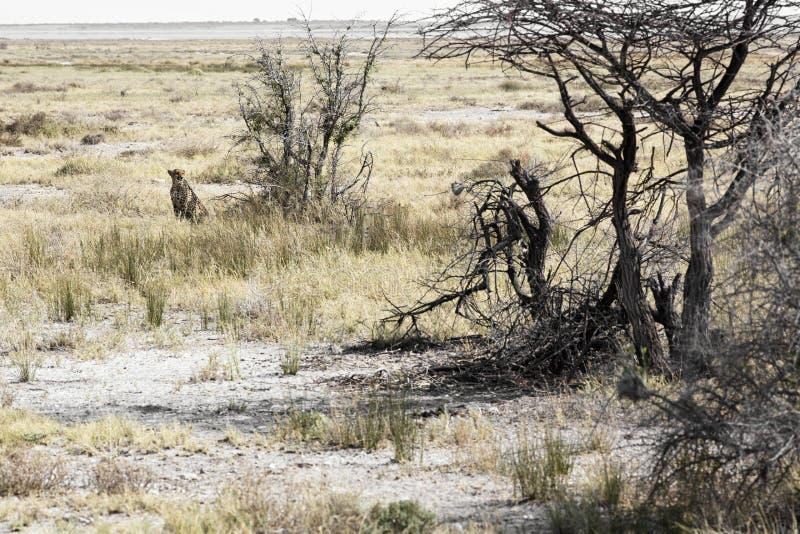 Wilde Afrikaanse jachtluipaard, mooi zoogdierdier afrika royalty-vrije stock foto's