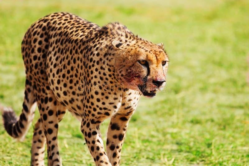Wilde Afrikaanse jachtluipaard na de jacht en het feesten stock fotografie