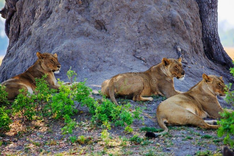Wilde Afrikaanse Leeuwen die onder de schaduw van een grote boom in het Nationale Park van Hwange rusten stock foto's