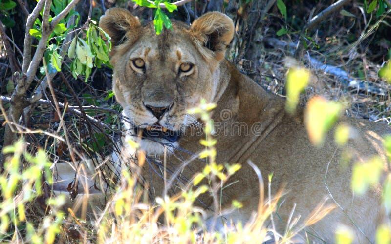 Wilde Afrikaanse leeuwin van de reserve van Masai Mara in Kenia stock foto