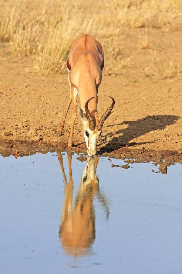 Wilde Afrikaanse springbok stock foto
