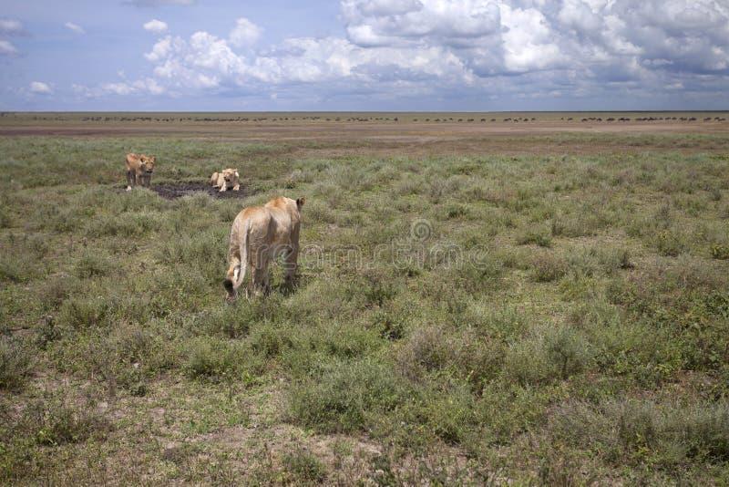Wilde afrikanische Löwin in der Savanne lizenzfreies stockbild