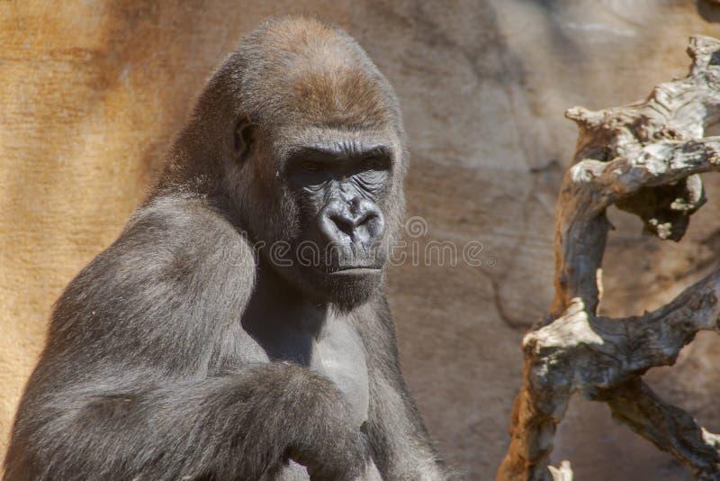 Wilde afrikanische Tiere, Gorilla lizenzfreie stockfotografie