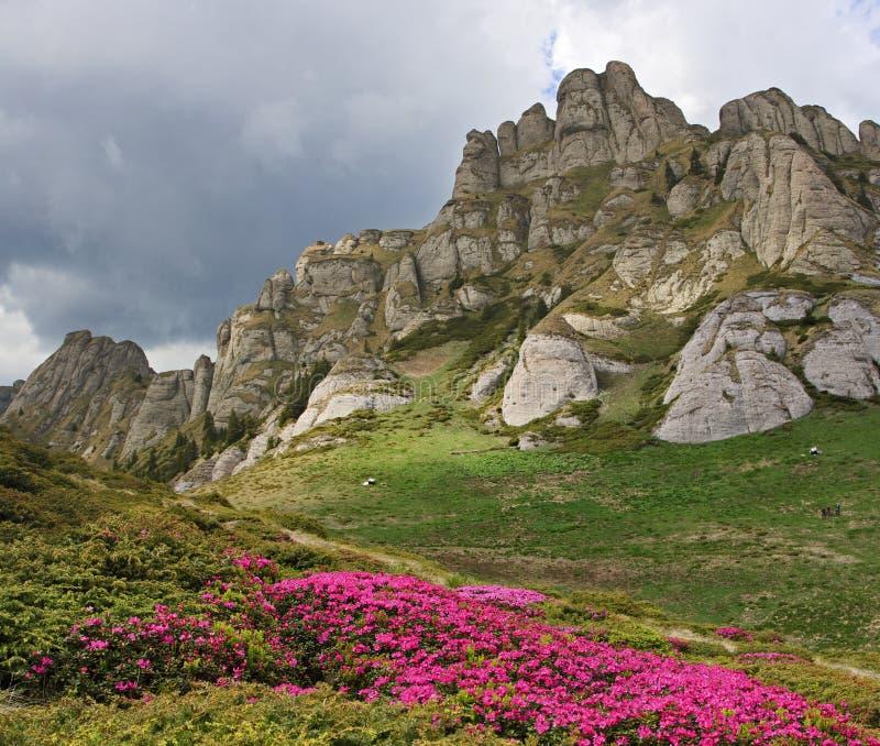 Wilde alpiene bloemen in Karpatische bergen stock afbeelding