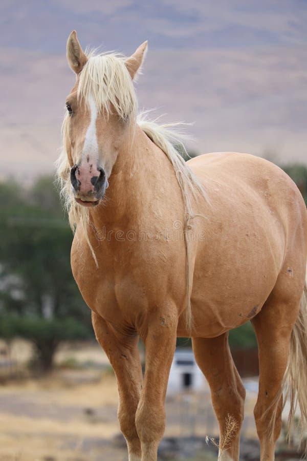 Wilde Amerikaanse dwars het paardsiërra Nevadas van mustangpalomino stock fotografie