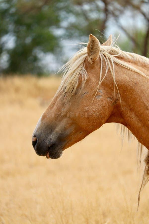 Wilde Amerikaanse het profiel headshot close-up van het mustangpaard royalty-vrije stock foto's