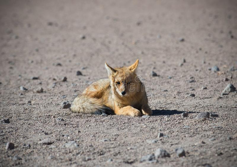 Wilde Andesvos in woestijn Altiplano - Bolivië stock foto