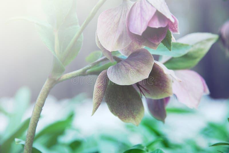 Wilde anemonen in bloei, mooie windbloemen in nevelig bos stock foto