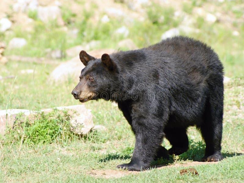 Wilde animails in Kanada - schwarzer Bär lizenzfreie stockfotos